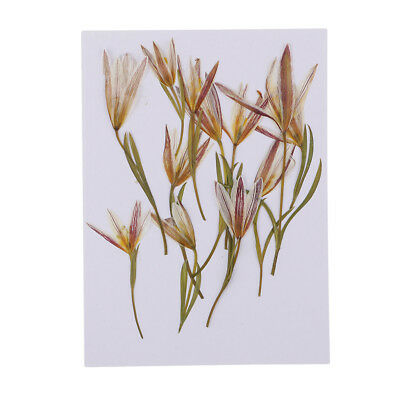 12pcs Pressed Natural Dried Flower Real Lily Embellishment for DIY Ornament