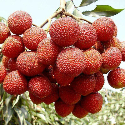 10Pcs Lychee Seeds Fruit Seed Delicious Lychee Succulent Tree Bonsai Home Garden