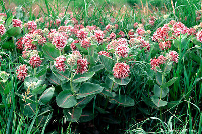 Asclepias speciosa (Showy Milkweed) x10 seeds. Perennial. Monarch butterfly host