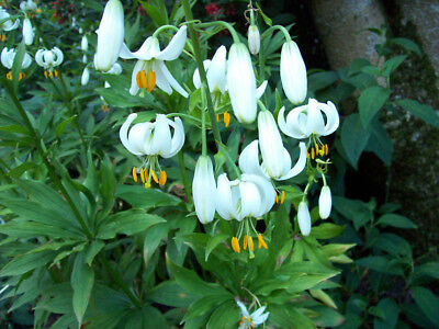 2 Different Colours Of Lilium Martagon To Choose Hardy Perennial Plant Seeds