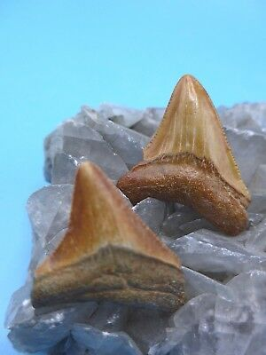 Two Colorful Fossil Megalodon (Carcharocles Megalodon) Shark Teeth (10-15 Myo)