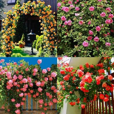 100Pcs Perfume Climbing Plants Colorful Rock Cress Flower Seeds ER99