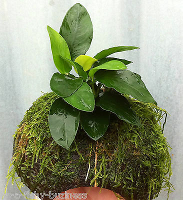 Anubias Barteri Coconut Breeding Cave Live  Aquarium Plants