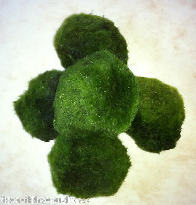 10 x Moss Balls Marimo Tropical or Cold Live Plant Nano Shrimp 3 to 4cm UK