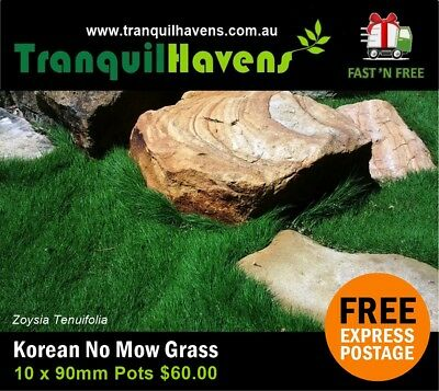 Korean Clumping Grass (No Mow Grass) Zoysia Tenuifolia  10 x 90mm Pots Free Post
