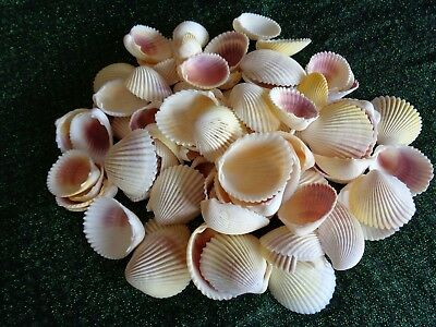 10 WHITE YELLOW PINK COCKLE SHELLS 3-4 CM Clam Shell Art Craft Display