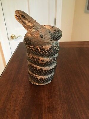 100% Genuine Real Snake Taxidermy Coiled Mount