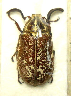 ** BEETLES, (FS13) , Melolonthinae, Polyphylla sp. , male ***