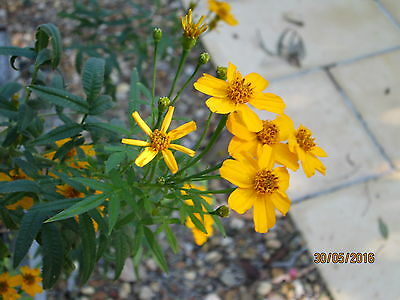 Tree Marigold Tagetes Lemmonii 150 Seeds