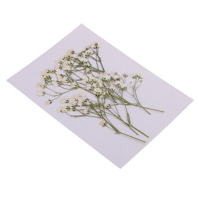 10 Pressed Dried Flowers Real Babys Breath for DIY Art Crafts Scrapbook Card