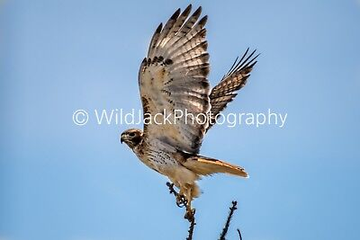 Digital Picture Image Photo Wallpaper JPG Red tail hawk