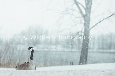 Digital Picture Image Photo Wallpaper JPG goose waiting out the blizzard