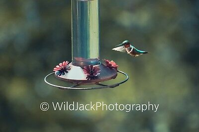 Digital Picture Image Photo Wallpaper JPG hummingbird coming to feed