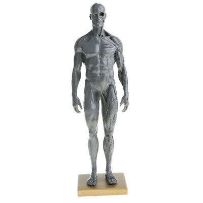 11'' Male Muscular System Anatomical Figure Model School Teaching Tool Gray