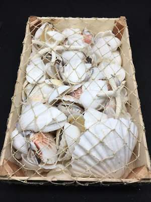 1.5kg bulk white shells in wooden box For Craft Project,Wedding,Home, Aquarium