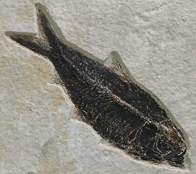 High Quality Knightia Fossil Fish Alta Green River Formation Wyoming Eocene#1446