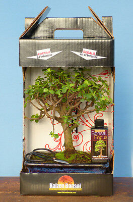 Indoor Bonsai Tree Gift Set-Large Mature Portulacaria & Gift Options - Gift Box