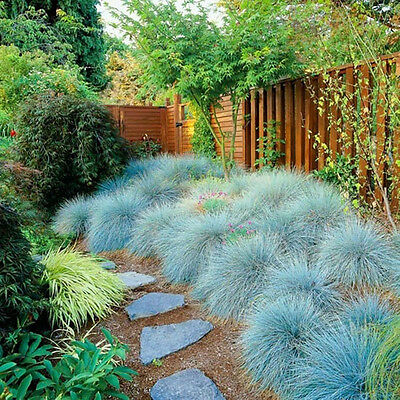 400PCS Blue Fescue Grass Seeds Glauca Festuca Seeds Grass Perennial Ornam_D L5X6