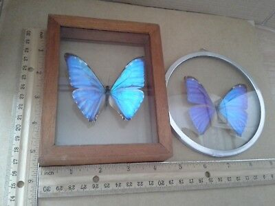 (2) Framed Under Glass Preserved Real BUTTERFLIES  From Brazil