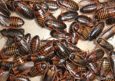 Dubia Roach Starter Colony Adult's