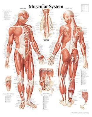 Muscular System Male Chart: Wall Chart by Scientific Publishing