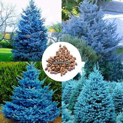 Rare Pine Tree Seeds Blue Sky Pine Seeds Garden Bonsai Plant Seeds EH7E