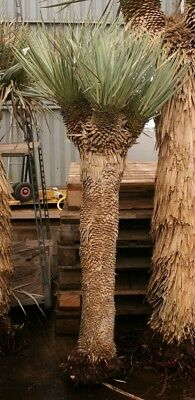 yucca rostrata 4 heads total 170 cm fresh import bare. Black Bedroom Furniture Sets. Home Design Ideas