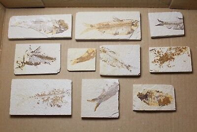 Fossil Fish Tails, Nearly All Knightia, Wyoming, One Selected At Random