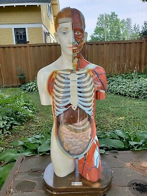 Clay Adams Male Anatomical Anatomy Model Japan