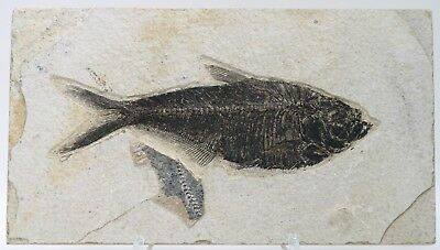 """Exceptional 6.7"""" Diplomystus Fossil Fish Green River Formation Wyoming Eocene"""