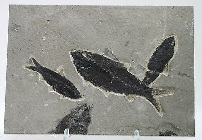 3 Dark Knightia Fossil Fish & parts 2 more Green River Formation Wyoming Eocene