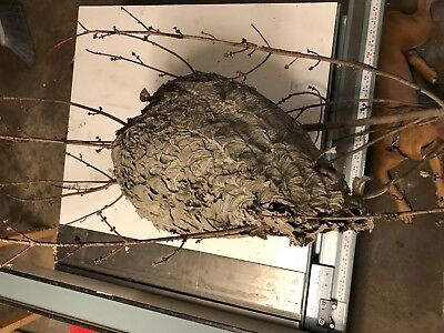 "Large Real Paper Hornets Nest - 21"" Long x 14"" Wide - From Harrisburg, PA"