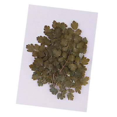 Pressed Leaves, Thalictrum 20X for floral art,craft,card making,scrapbooking