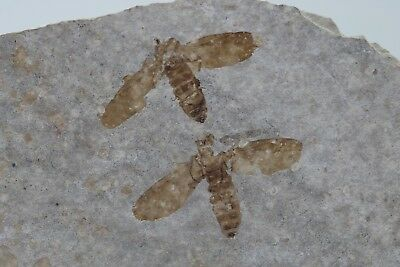 2 Fossil Insect March Fly Green River Formation Wyoming Eocene Post Dinosaur Era