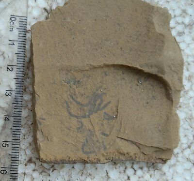 Seaweed fossil #a1