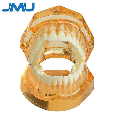 Dental Removable Teeth Study Teaching Tooth Model ADULT TYPODONT Model