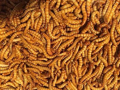 """Bulk Live Mealworms - 1000 count Large - 1"""""""