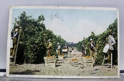 Scenic Picking Oranges Postcard Old Vintage Card View Standard Souvenir Postal