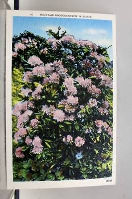 Scenic Mountain Rhododendron Bloom Postcard Old Vintage Card View Standard Post