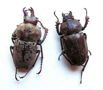 BEETLES, insects, (PN704),  Lucanidae, Cacostomus squamosus, pair ***