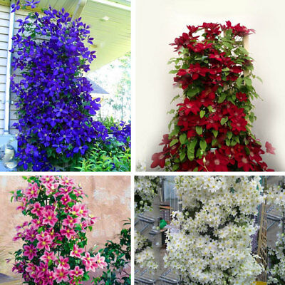 1B92 Mixed Color 100pcs/Bag Rare Beautiful Healthy Climbing Plants Seeds B15C