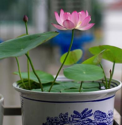 20 seeds mixture Water Lily Bowl Lotus Seeds Aquatic Plants Flower Seed Garden