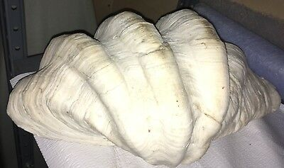 Beautiful Rare Giant Tridacna Gigas  Sea Shell Clam