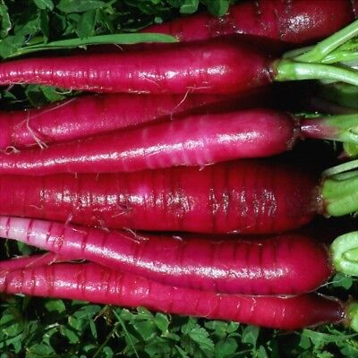 RADISH  'Fire Candle' 100 seeds vegetable
