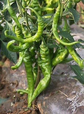 Vegetable seed - Rare early Hot green Pepper seeds Spicy Chili Home garden