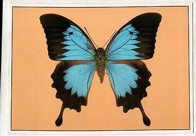 C3138pac Insects Butterfly Ulusses postcard