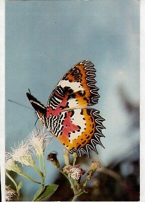 D9051cgt Insects Butterfly Malay Lacewing postcard