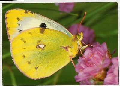 D8266cgt Insects Butterfly Collias australis postcard