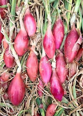 Onion Long Red Tropea Seed 100 Seeds Heirloom