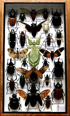 26 Real Bug Mounted Beetle Boxed Rare Insect Display Taxidermy Entomology